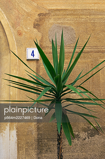 Yucca plant outside a weathered wall of a house - p564m2227469 by Dona