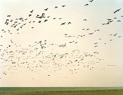 Flock of geese - p1159m940394 by Anna Rozkosny