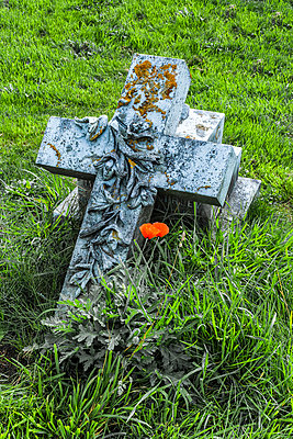 A fallen gravestone in the shape of a cross beside which orange poppies are flowering; England - p442m2039520 by Carol McKay