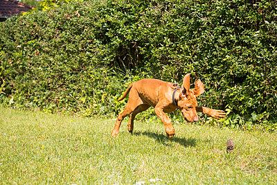 3 month old Viszla dog - p739m933196 by Baertels