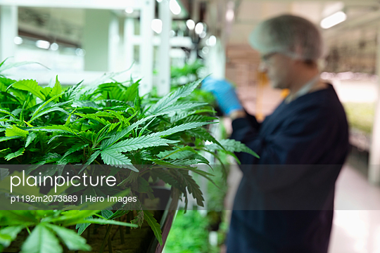 Grower inspecting cannabis seedlings in incubation - p1192m2073889 by Hero Images