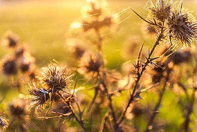Dead Thistles in Field, Close Up - p694m910752 by Freddie Ardley