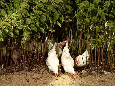 Hühner - p1188m1002850 von Henk Wildschut