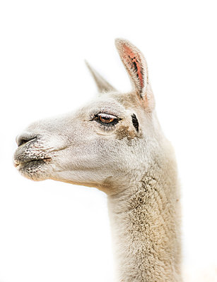 Llama portrait - p1635m2211138 by Amanda Witt
