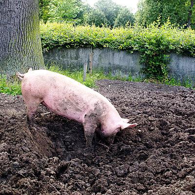 Schwein - p940m698244 von Bénédite Topuz