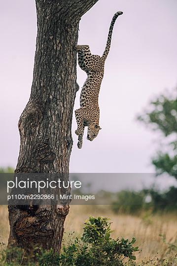 A leopard, Panthera pardus, climbs down a tree - p1100m2292866 by Mint Images