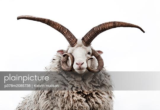 Ram - p378m2085738 by Kelvin Hudson