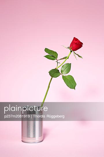 rote Rose in Konservendose - p237m2081919 von Thordis Rüggeberg