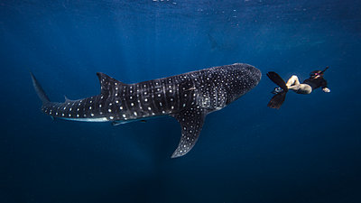 Diver swimming with Whale Shark, underwater view, Cancun, Mexico - p429m1448161 by Ken Kiefer 2