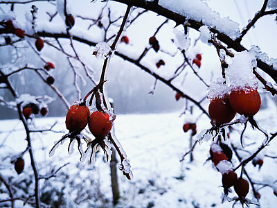Rose hips in the snow - p945m2231963 by aurelia frey