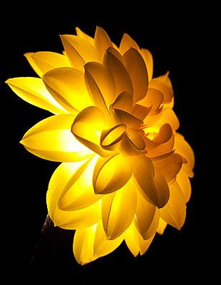 Glowing dahlia - p6730011 by shigoto