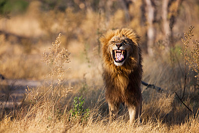 African Lion male flehming - p884m864106 by Theo Allofs