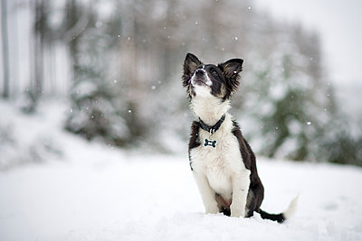 Border Collie puppy watching snowfall - p300m2104079 by Mark Johnson