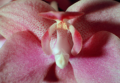 Pink Orchid - p3018229f by Ferdinand Daniel