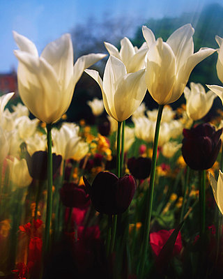 Close-up of tulips in Merrion Square garden, Dublin, Ireland - p4425362f by Design Pics