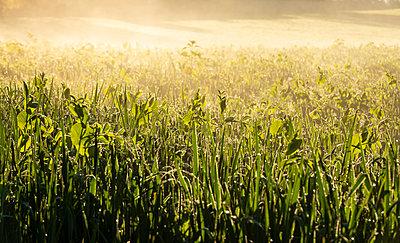 Germany, Upper Bavaria, Toelzer Land, Meadow in morning light - p300m2156449 by Hans Lippert
