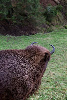 Bison - p361m901318 by Ute Behrend