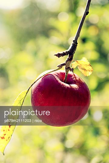 Ripe apple - p879m2111203 by nico
