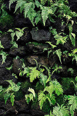 Wall with ferns - p1515m2093201 by Daniel K.B. Schmidt