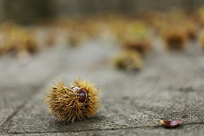 Chestnuts lying on the ground - p1990552 by Oliver Jäckel