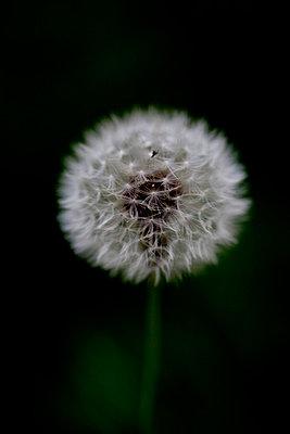 Pusteblume - p4451008 von Marie Docher