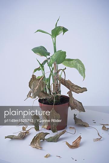 Zimmerpflanze verliert vertrocknete Blätter - p1149m1525713 von Yvonne Röder