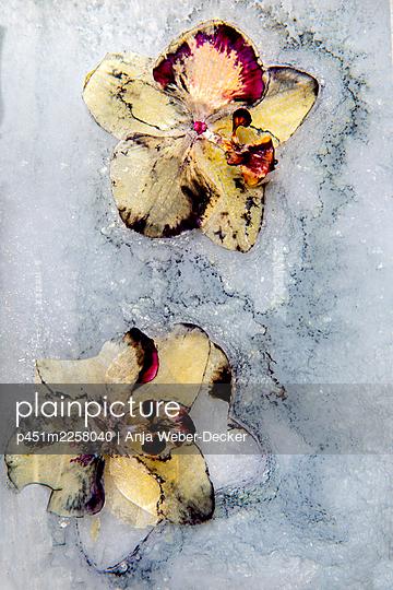 Orchid - p451m2258040 by Anja Weber-Decker