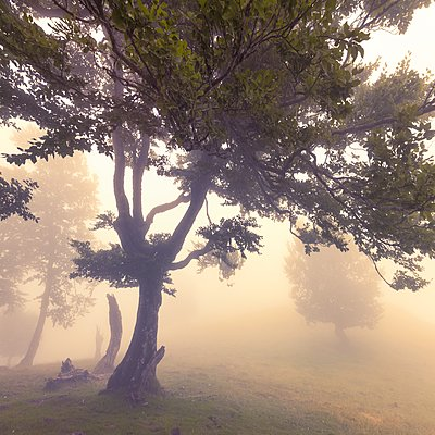 Trees in the fog - p1137m2257874 by Yann Grancher