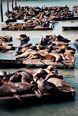 Robben am Pier - p795m912262 von JanJasperKlein
