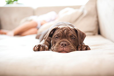 Portrait of Olde English Bulldogge snoozing on the couch - p300m1188847 by Michelle Fraikin