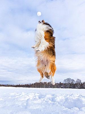 Germany, Shetland Sheepdog jumping, snowball - p300m997914f by Stefan Schurr