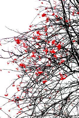 Red berries - p450m2054426 by Hanka Steidle