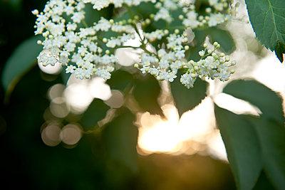 Holunderblüten im Sonnenuntergang - p533m1556538 von Böhm Monika