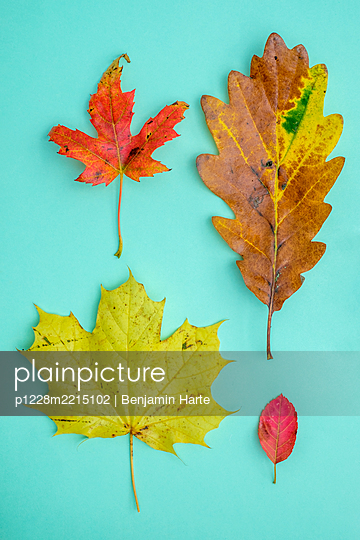A Selection of Autumn leaves - p1228m2215102 by Benjamin Harte