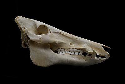 Animal Skull - p250m1090977 by Christian Diehl