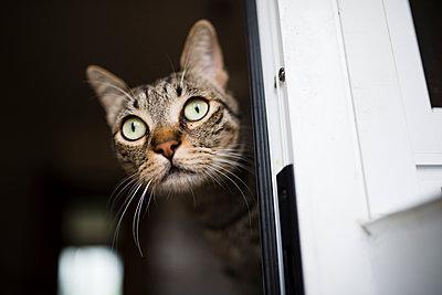 Portrait of tabby cat - p300m1069094f by Ramon Espelt