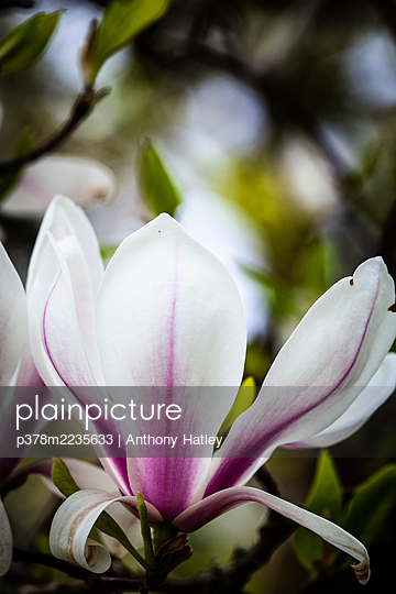 Close-up of Maglia flower - p378m2235633 by Anthony Hatley