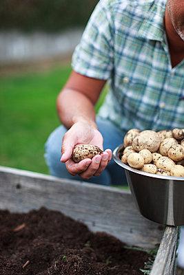 Man harvesting potatoes - p312m1533013 by Christina Strehlow