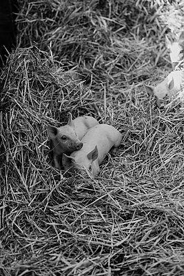 Zwei Ferkel - p858m2073392 von Lucja Romanowska