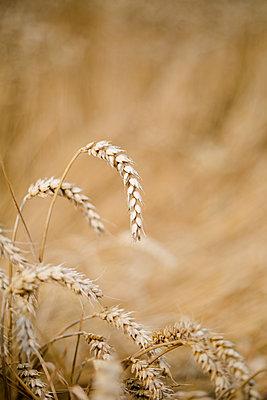 Weizen kurz vor der Ernte - p1325m1222666 von Antje Solveig