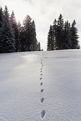 Animal track in snow at Bavarian Forest - p300m798242f by Fotofeeling