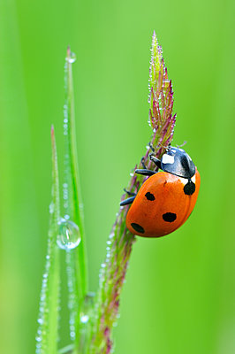 Seven-spotted Ladybird , Switzerland - p884m1129382 by Thomas Marent