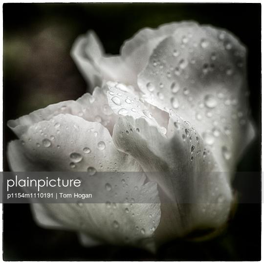 Tulip petals with morning dew - p1154m1110191 by Tom Hogan