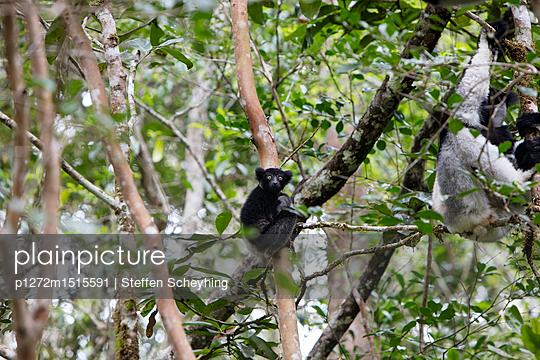 Indri-Nachwuchs - p1272m1515591 von Steffen Scheyhing