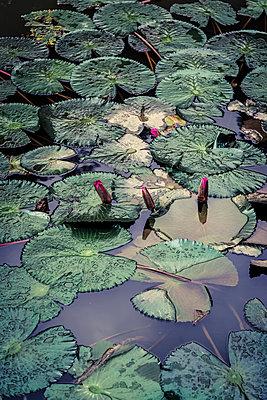 Pond with waterlilies - p1170m2045726 by Bjanka Kadic