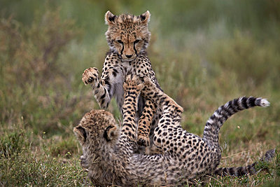 Cheetah  cubs playing, Serengeti National Park, Tanzania, East Africa, Africa - p871m1056781f by James Hager