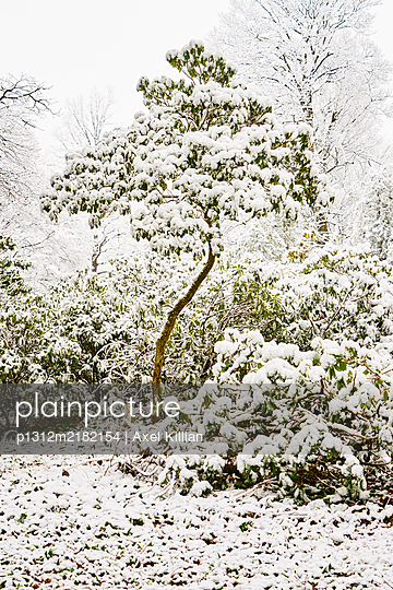 Snow-capped tree and bushes in a park - p1312m2182154 by Axel Killian