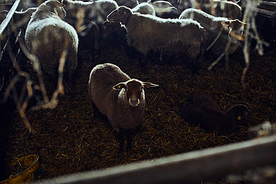 Sheep in a stable - p1573m2272536 by Christian Bendel