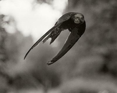 A common swift (Apus apus) in flight - p348m733752 by Bertil Hertzberg