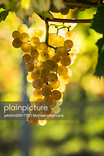 Close-up of a cluster of white grapes hanging from a vine and backlit by sunlight; Piesport, Germany - p442m2091770 by Michael Interisano